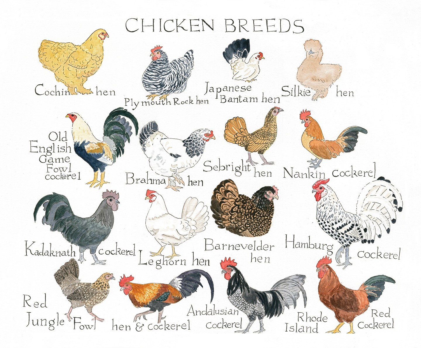 Chicken breed chart madeleinedonahue